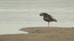 A Curlew preens at the water's edge Stock Footage