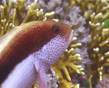 Freckled hawkfish, Paracirrhites forsteri, UP15016 Stock Footage