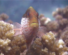 Freckled hawkfish, Paracirrhites forsteri, UP15017 Stock Footage