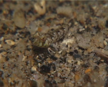 Female adult dragonet on sand, Unidentified Species, UP15025 Stock Footage