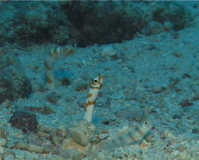 Splendid garden eel feeding, Gorgasia preclara, UP15037 Stock Footage
