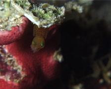 Pygmy squid breathing at night, Idiosepius pygmaeus, UP15059 Stock Footage