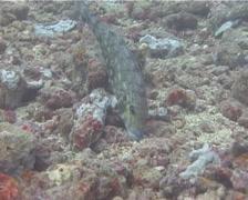 Redspot emperor feeding, Lethrinus lentjan, UP15066 Stock Footage