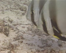 Round batfish hovering and schooling, Platax orbicularis, UP15090 Stock Footage