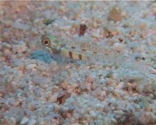 Unidentified red dash pygmygoby, Eviota sp. Video 15091. Stock Footage
