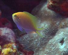 Hawk anthias swimming, Serranocirrhitus latus, UP15118 Stock Footage