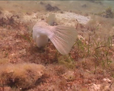 Striped pufferfish feeding, Arothron manilensis, UP15125 Stock Footage