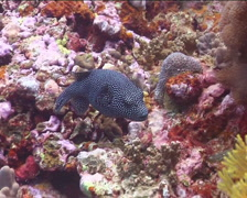 Guineafowl pufferfish feeding, Arothron meleagris, UP15124 Stock Footage