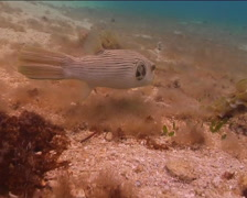 Striped pufferfish feeding, Arothron manilensis, UP15126 Stock Footage