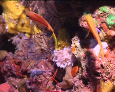 Striped anthias hovering, Pseudanthias fasciatus, UP15153 Stock Footage
