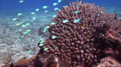 Blue green chromis swimming and schooling, Chromis viridis, HD, UP15240 Stock Footage