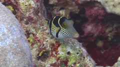 Black-saddle toby hovering, Canthigaster valentini, HD, UP15251 Stock Footage