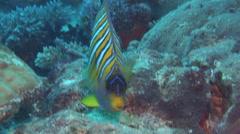 Regal angelfish swimming, Pygoplites diacanthus, HD, UP15284 Stock Footage