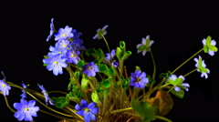 Hepatica flower blossoms,  time-lapse Stock Footage