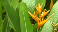 Bird of paradise flower, HD, UP15519 Stock Footage