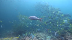 Burrito grunt swimming and schooling on rocky reef, Anisotremus interruptus, HD, Stock Footage