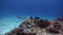 Zebra shark swimming on shallow coral reef, Stegostoma fasciatum, HD, UP25861 Stock Footage