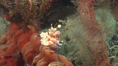 Hingebeak shrimp on muck, Rhynchocinetes durbanensis, HD, UP25901 Stock Footage