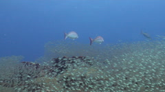 Coral trout hunting and schooling on coral reef, Plectropomus leopardus, HD, Stock Footage