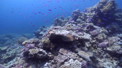 Ocean scenery hard corals, large coral formations, great visibility, on shallow Stock Footage