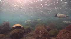 Galapagos green turtle lollygagging on rocky shore, Chelonia mydas agassisi, HD, Stock Footage