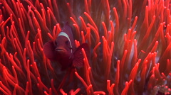 Spine-cheek Anemonefish swimming on muck, Premnas biaculeatus, HD, UP25873 Stock Footage