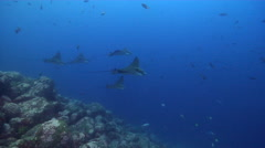 Spotted eagle ray swimming on deep wall, Aetobatus ocellatus, HD, UP25359 Stock Footage
