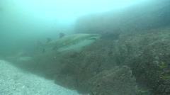 Grey nurse shark swimming on rocky gutter, Carcharias taurus, HD, UP25765 Stock Footage