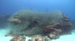 Yellow-banded snapper swimming and schooling on coral reef, Lutjanus adetii, HD, Stock Footage
