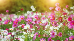 Beautiful cosmos flowers swaying in the breeze with sun light, slow motion. Stock Footage