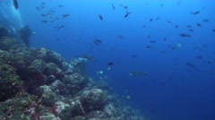 Spotted eagle ray swimming on rocky reef, Aetobatus ocellatus, HD, UP25358 Stock Footage