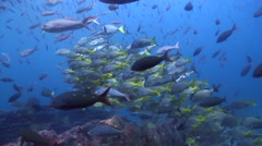 Razor sawtail swimming and schooling on rocky reef, Prionurus laticlavius, HD, Stock Footage