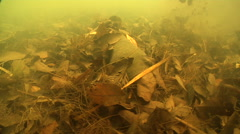 Queensland lungfish on silty river bed, Neoceratodus forsteri, HD, UP25940 Stock Footage