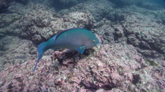Bluebarred parrotfish feeding on rocky reef, Scarus ghobban, HD, UP25108 Stock Footage