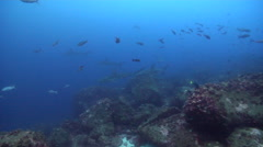 Galapagos shark swimming on rocky reef, Carcharhinus galapagensis, HD, UP25368 Stock Footage