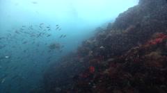 Galapagos sea lion swimming on rocky reef, Zalophus californicum wollebacki, HD, Stock Footage