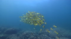 Blue and gold snapper swimming and schooling on rocky reef, Lutjanus viridis, Stock Footage