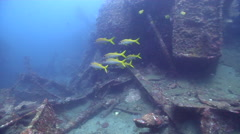 Yellowfin goatfish swimming and schooling on wreckage, Mulloidichthys Stock Footage