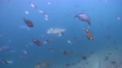 Brown puller swimming and schooling on rocky reef, Chromis hypsilepis, HD, Stock Footage