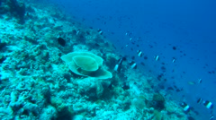 School of brown-and-white butterflyfish (Hemitaurichthys zoster) Stock Footage