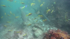 Grey nurse shark hovering on rocky reef, Carcharias taurus, HD, UP25733 Stock Footage