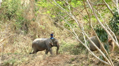 elephant with man riding on top walking down the hill - stock footage
