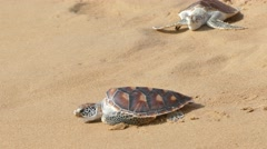 Turtle release festivals are organized in Andaman sea of Phuket Thailand Stock Footage