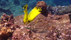 Latticed butterflyfish feeding, Chaetodon rafflesii, HD, UP15783 Stock Footage