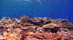 Ocean scenery snorkeller on the surface, on shallow coral reef, HD, UP15789 Stock Footage