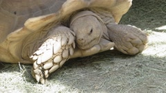 Old tortoise in his shell  Stock Footage