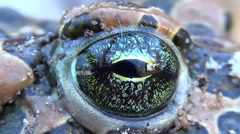 Spotted toad frog blinking eye. - stock footage