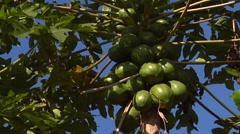 Paw paw on the tree, papaya, HD, UP16030 - stock footage