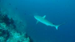 grey reef shark (Carcharhinus amblyrhynchos) - stock footage