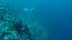 Grey reef shark (Carcharhinus amblyrhynchos) Stock Footage